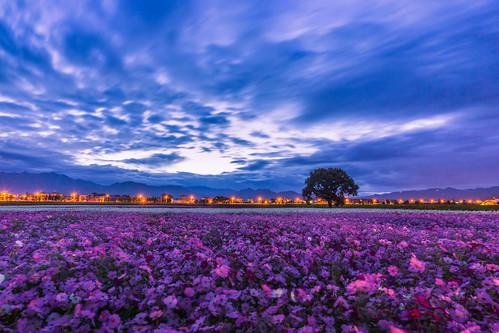 sky cloud flower field sunrise landscape dawn sony wideangle taichung cosmos 風景 台中 波斯菊 新社 日出 ziess cosmosbipinnatus 晨 廣角 touit 新社花海 a6000 流雲 touit1228