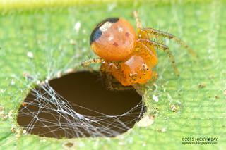 Crab spider (Thomisidae) - DSC_3903