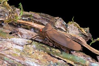 Humped leafhopper (Proconia cf. esmeraldae) - DSC_2658