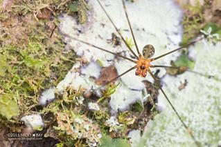 Daddy-long-legs spider (Mesabolivar huambisa or Mesabolivar acrensis) - DSC_2928