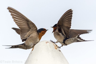 Welcome Swallows - Sherwood Arboretum