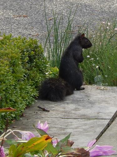 Stratford - zwarte eekhoorn