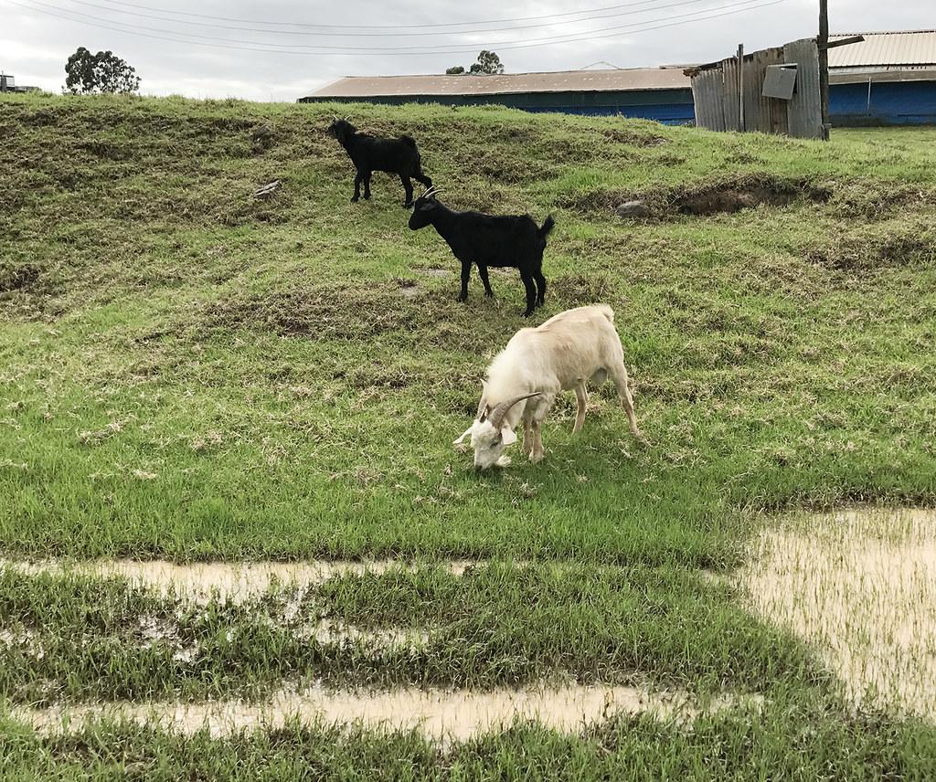 3 Little Goats