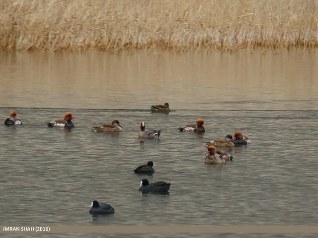 Red-crested Pochard (Netta rufina), Eurasian Wigeon (Anas penelope), Gadwall (Anas strepera) & Eurasian Coot (Fulica atra)