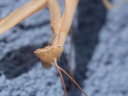 Praying mantis | by k_kwb