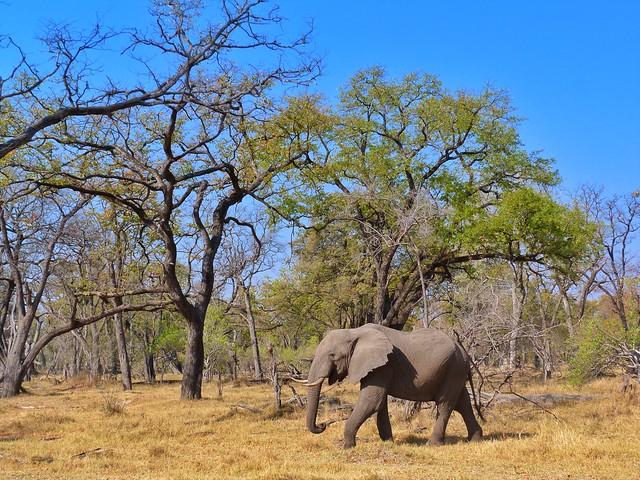 El elefante es uno de los miembros del reino animal perteneciente a los BIG FIVE de África