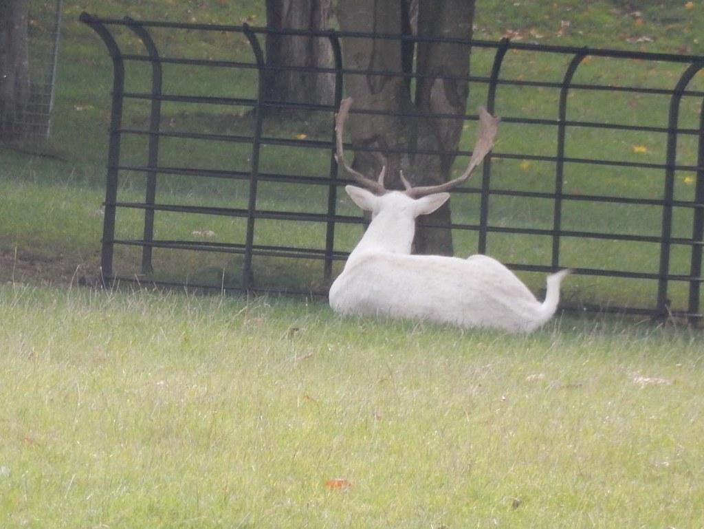 White deer neer Hambleden Marlow Circular