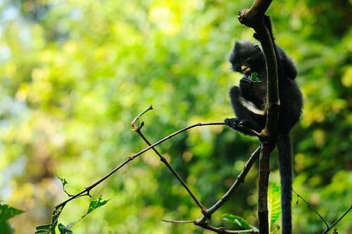 Banded Langur, Presbytis femoralis robinsoni in Kaeng Krachan national park