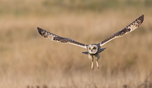 Short Eared Owl in flight | by cogs2011