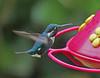 Zumbador Diminuto, Gorgeted Woodstar (Chaetocercus heliodor) (Acestrura heliodor)