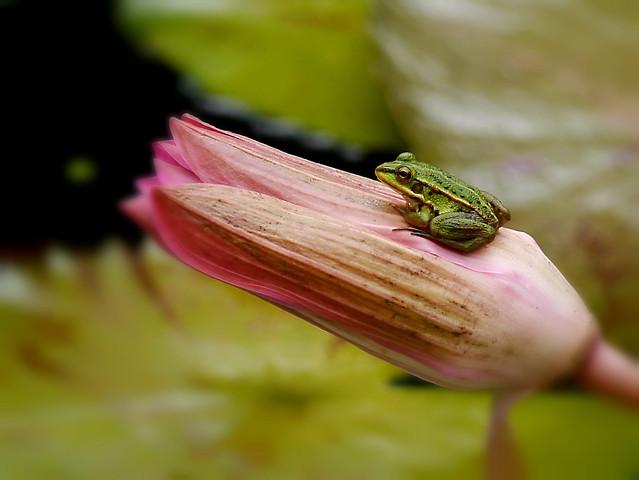 金線蛙 Green Pond Frog