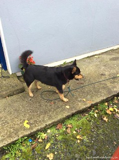 Sun, Nov 1st, 2015 Found Male Dog - Oldcastle, Millbrook, Meath | by Lost and Found Pets Ireland