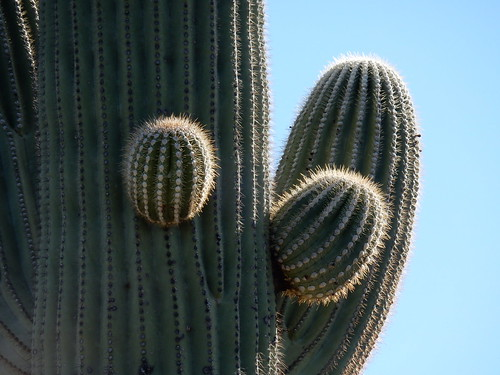 Saguaro NP - saguaro close up -  2