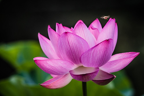 Blooming lotus | by aotaro