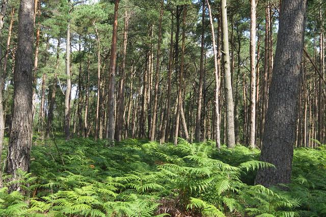 Trees on Brownsea Island