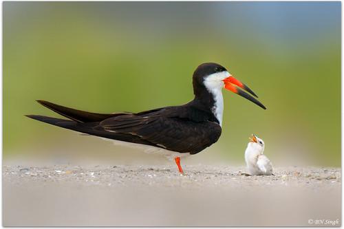 Black Skimmer | by BN Singh