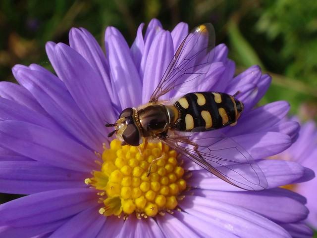 Lady Licking Yellow on Purple. Eupeodes corollae, Vagrant Hoverfly, on New York Aster, Aster novi-belgii, Stadsboerderij 'De Wiershoeck', Beijum, Groningen, The Netherlands