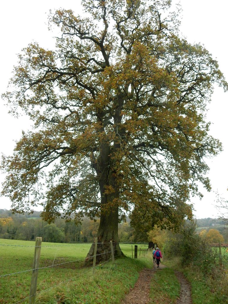 Tree Guildford Circular via Chantries Hill