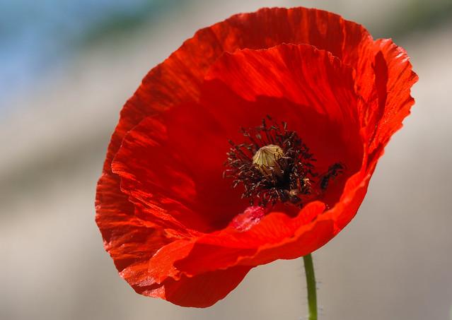 Unadorned Poppy