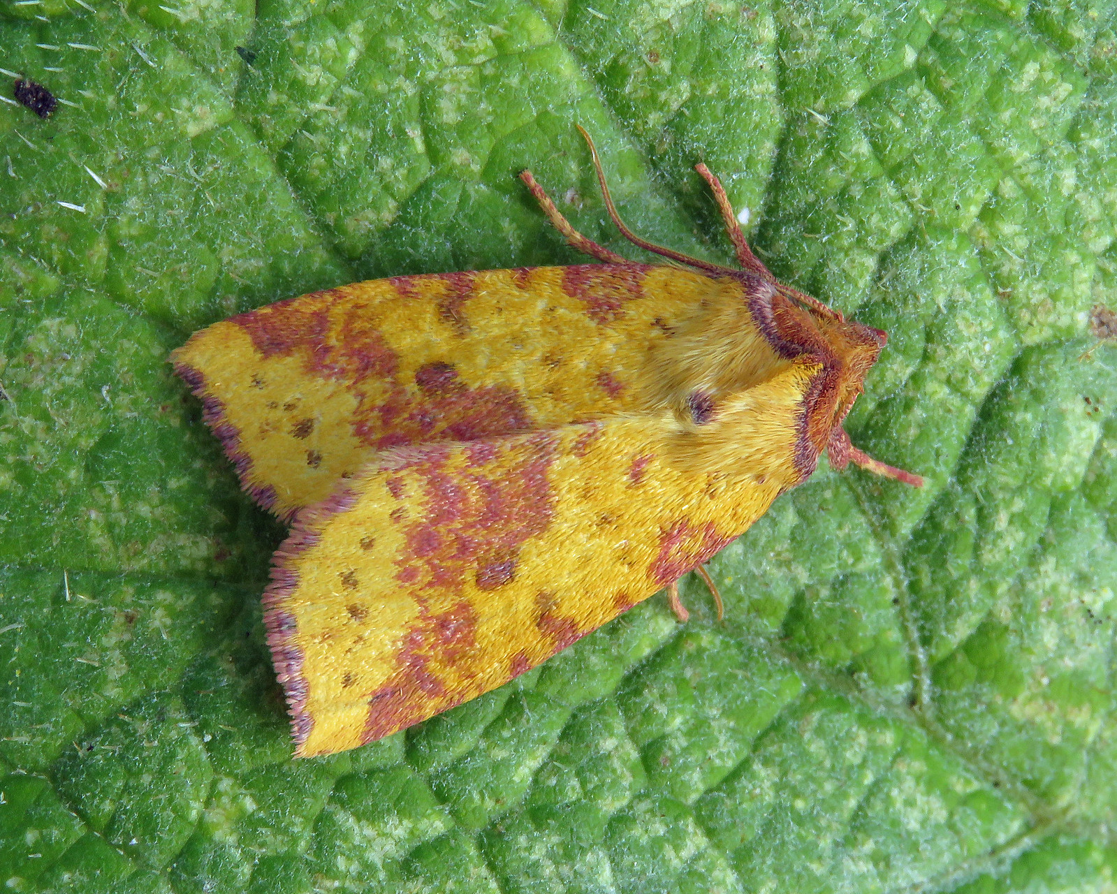 73.181 Pink-barred Sallow - Xanthia togata
