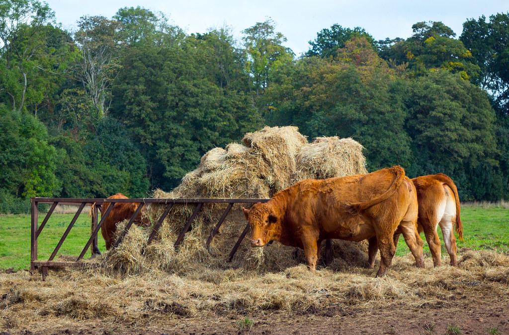 Livestock Feeding by Whitefield Coppice - Warwick University - 11 Oct 2016