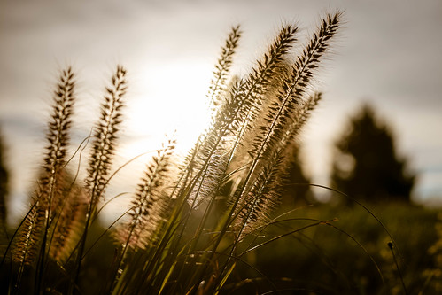 abbondi autumn backlighting backlit fall fujifilmxt10 fujinonxf55200mmf3548rlmois grass longwoodgardens meadow meadowgrass nature outdoor pennsylvania plant silhouette sunrise