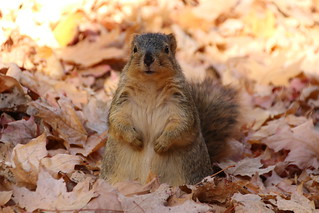 149/365/3071 (November 7, 2016) - Squirrels in Ann Arbor at the University of Michigan (November 7, 2016)   by cseeman