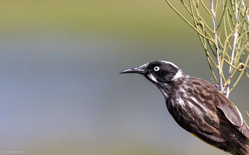 New Holland Honeyeater | by gus.meredith