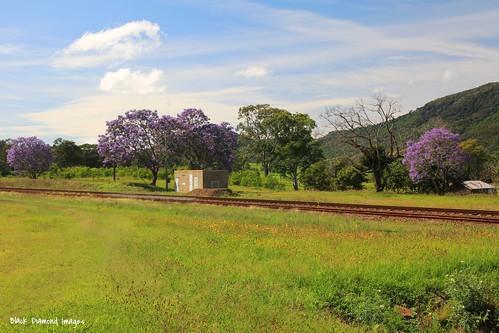 australia nsw jacaranda bignoniaceae jacarandamimosifolia midnorthcoast mtgeorge manningvalley northcoastrailwayline purplefp manningvalleylandscapes