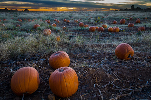 pumpkin pumpkins pumpkinpatch bishopspumpkinfarm october halloween thegreatpumpkin agriculture farm farmland wheatland country countryliving field evening sunset rural harvest grimeshome davidgrimesphotography davidgrimesphotographer grimeshomephotography