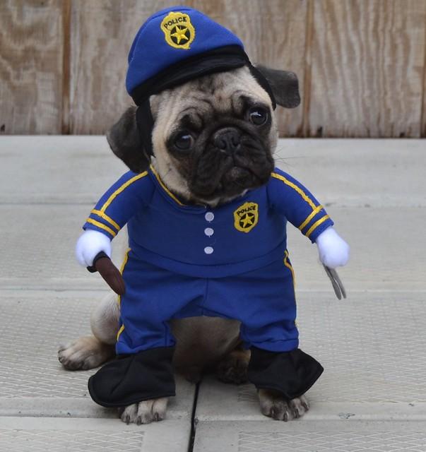 Boo The Policeman Cop Pug