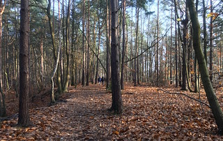 Winter woods Oxshott to Ashtead walk