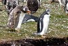 A Talking Gentoo Penguin, Falkland Islands by Joseph Hollick