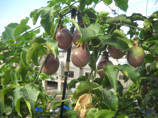 Passion Fruit Ripe Large Fruit and qty a Oct 12, 2015 | by toutberryfarms