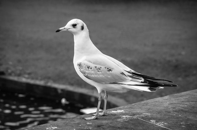 336/365: Urban Gull