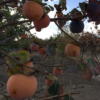 20161031_0883-persimmons-w   by abelpc_5355