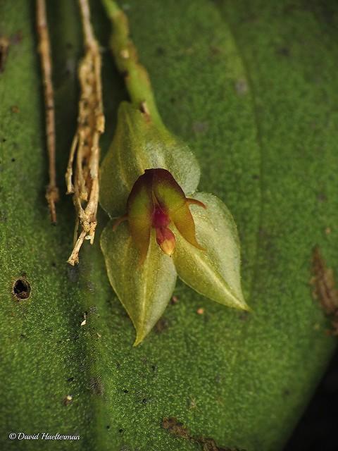 Enfoque frontal sobre la flor de Lepanthes sp. , alrededor de 250 m snm, Valle del Cauca, Colombia