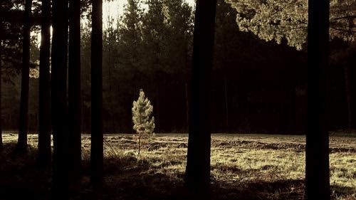 trees newzealand sunlight tree pine forest alone nelson olympus junior lone southisland youngster sapling rabbitisland standout em5 microfourthirds duncancunningham ilobsterit duncanmc42