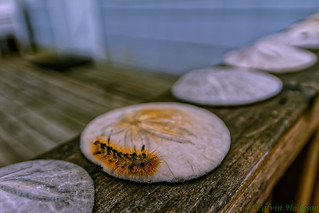 Caterpillar on Sand Dollar | by Infinite Dust
