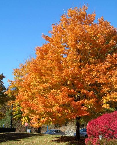 tree bush parkinglot redleaves orangeleaves putnamcounty brewsterny clocktowercommons autumn2015
