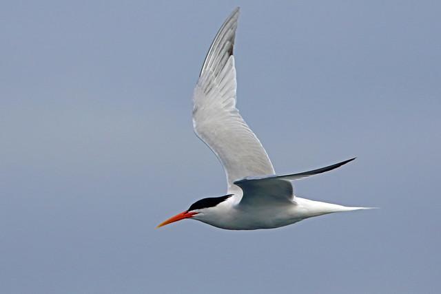 Elegant Tern, San Diego pelagic, California