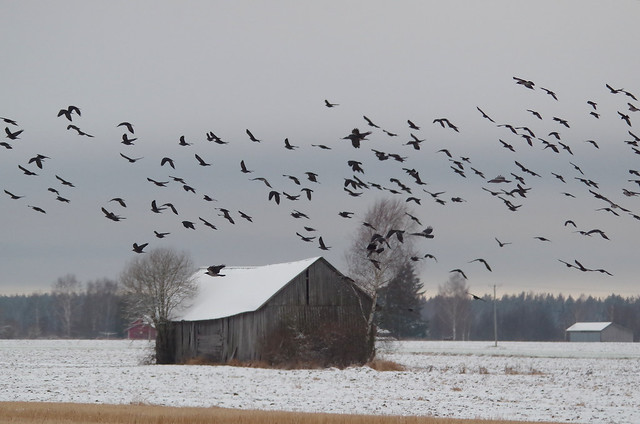 Crows and jackdaws