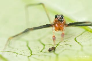 Jumping spider (Lyssomanes sp.) - DSC_1660