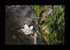 Parnassia palustre (Parnassi palustris)