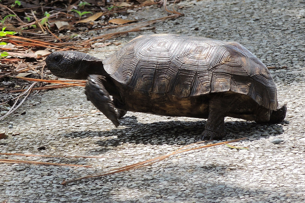 Off and running---Gopher Tortoise rescue | I will normally n