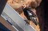 California Condor (Gymnogyps californianus) by George Wilkinson