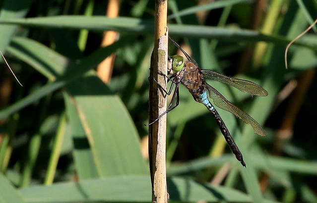 Anax napolitain - Payerne/Vaud/CH_20150723_432