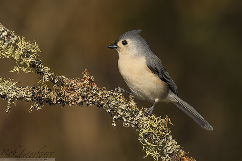 Tufted Titmouse | by Rob Lonsberry Photography