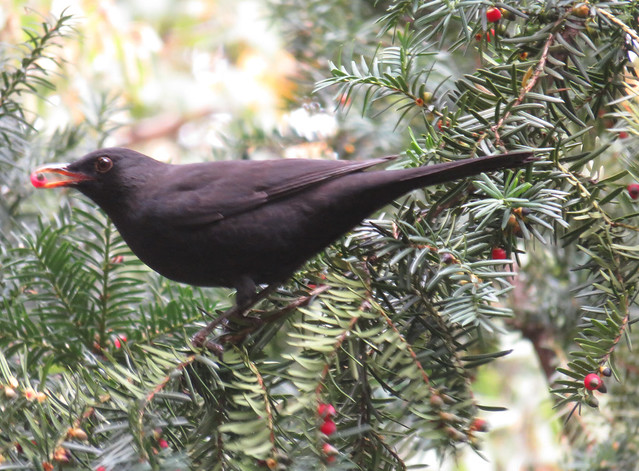 Blackbird munching berries from yew tree