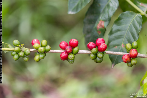 Red and Green Coffee Beans in Quinido Colombia | by yago1.com